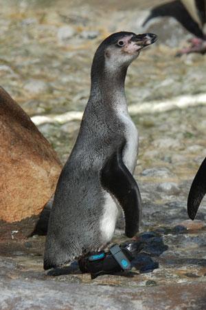 Pingwin Lucky z butem marki Teva (fot. www.pitchengine.com)