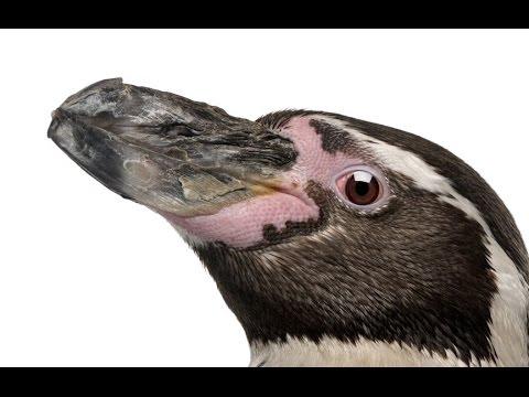 Nowe buty Tevy… dla pingwina